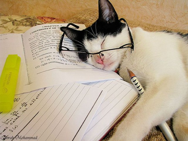 pisica obosita de studiu